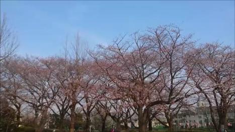 東京都下近所の公園東側の桜その1170403
