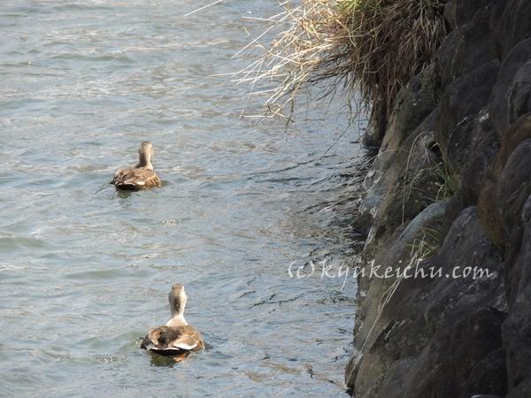川に泳ぐ鴨もいた