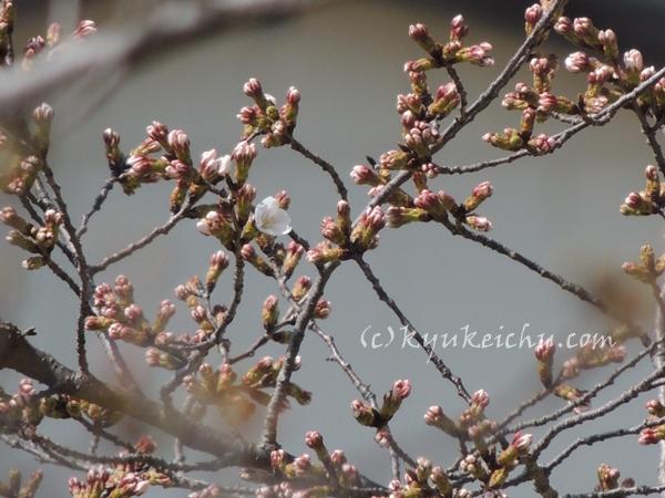 やっと咲いてる一輪の桜