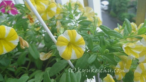 梅雨の中の黄色い花父へ