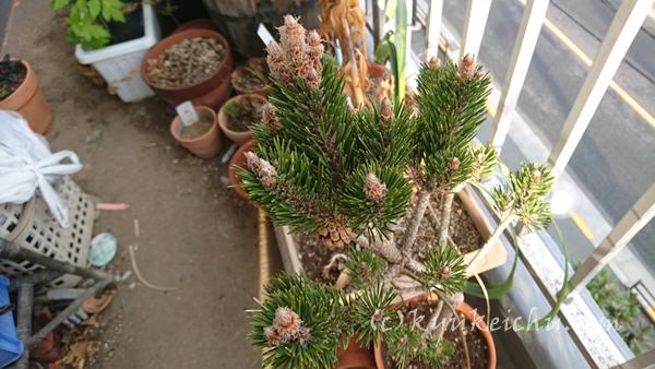 挿し木の松