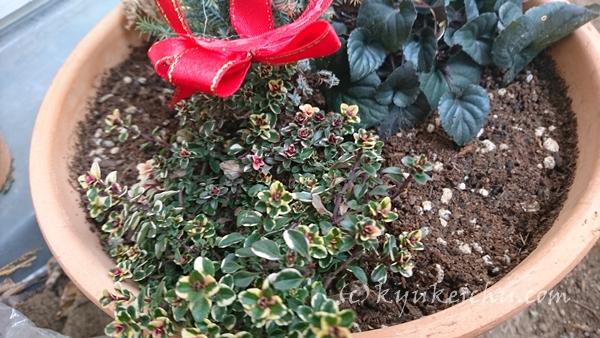 クリスマスに使う鉢植え