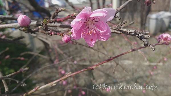 梅の花がやっと開花
