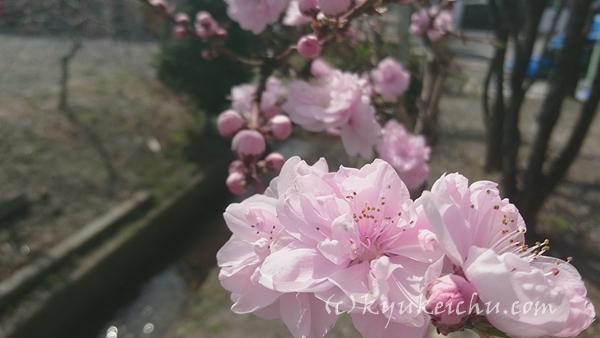 小川の脇にある桜